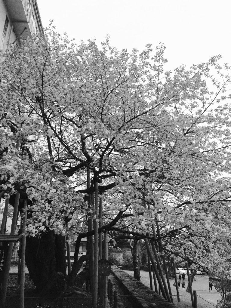 cherry tree (1)